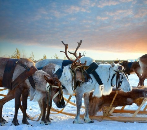 Reindeer of the Lapland